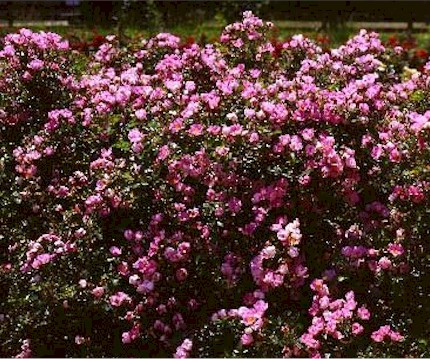 Large bush with pink flowers image collections flower decoration ideas bush with large pink flowers choice image flower decoration ideas large bush with pink flowers choice mightylinksfo