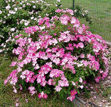 Sandy Bottom Landscape Roses