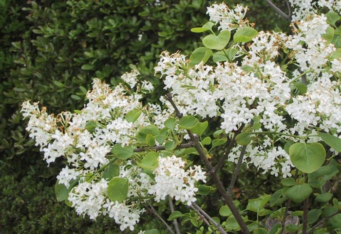 Sandy bottom shrubs for White flowering bush
